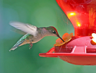 My first hummingbird picture.  It's a little soft but worth posting.  I grabbed the camera and shot this photo through a picture window.  Took two frames...second frame was empty.