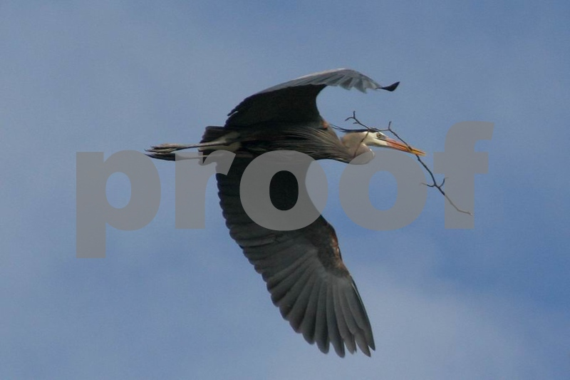 Blue Heron Making a Nest