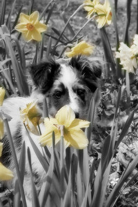 Cooper in the daffodils!