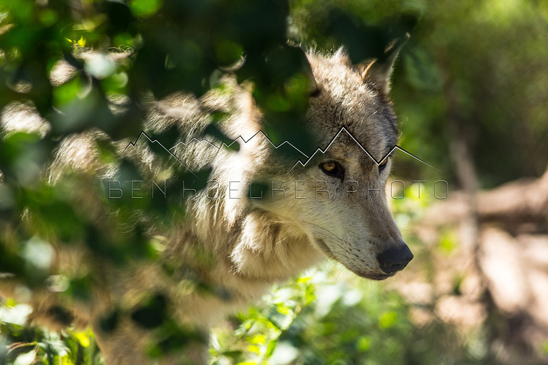 Wolves of Mission: Wolf, CO