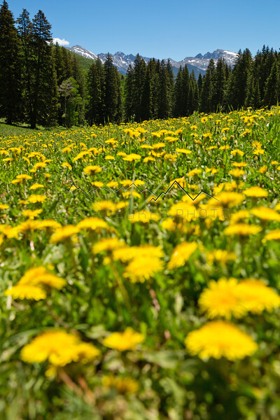 Dandelions on Crooked Creek Pass, CO