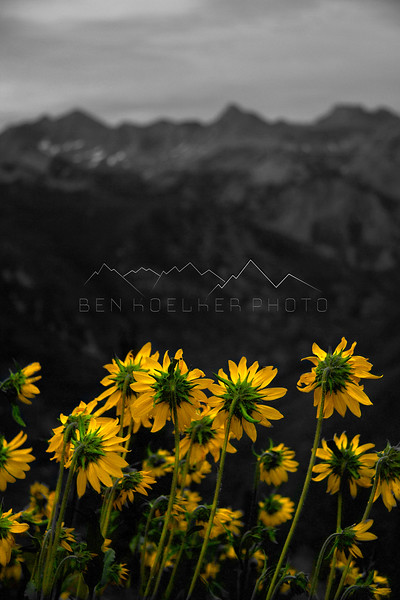 Flowers in the Gore Range, CO.
