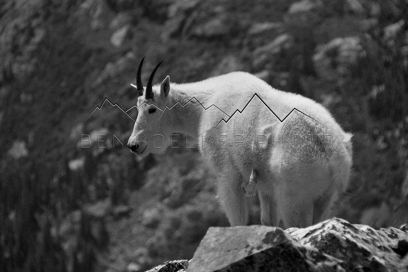 Mountain goat on Quandary Peak, CO