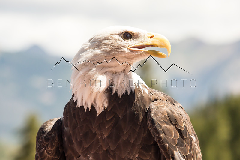 Bald Eagle in the Gore Range, CO