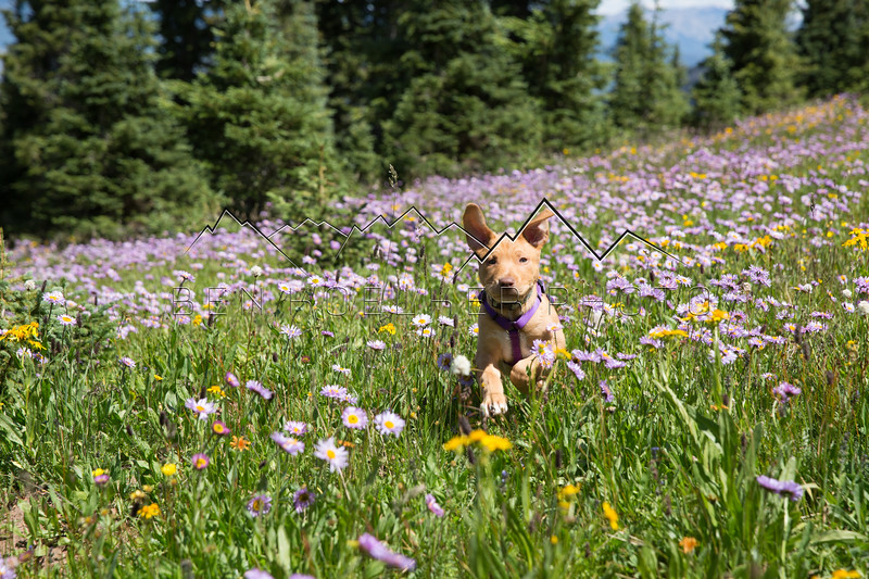 Scout the Wonderdog, frollicking through a meadow on New York Mountain, CO