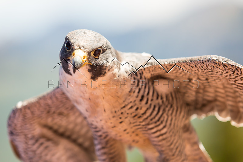 Peregrine Falcon in the Gore Range, CO