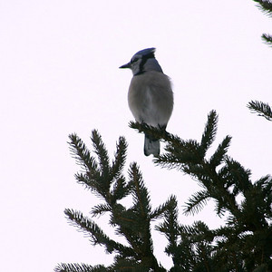 I didn't realize bluejays had such a white underside...