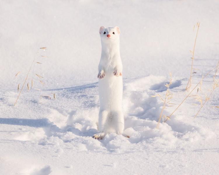 Winter Weasel Upright