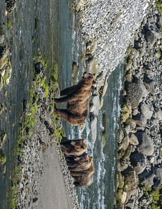 Coastal Brown Bear Sow & Cubs - Inside Passage, Alaska.