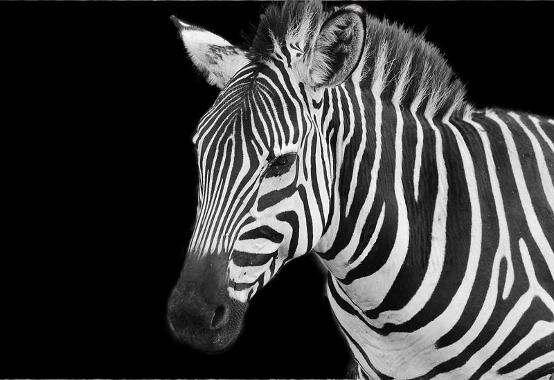 Zebra, up close