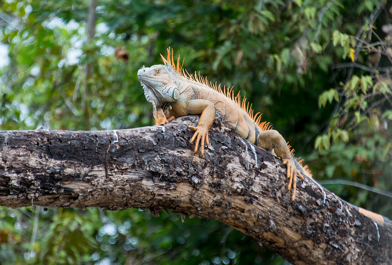 Male Iguana sunning itself on a tree limb overhanging the Rio Tempisque River in Palo Verde National Park, Costa Rica - December 2014