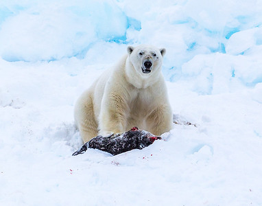 Polar Bear with Ringed Seal kill.  Svalbard - Arctic Norway