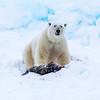 Polar Bear with Ringed Seal kill.  Svalbard Archipelago.  Upper Arctic Norway.