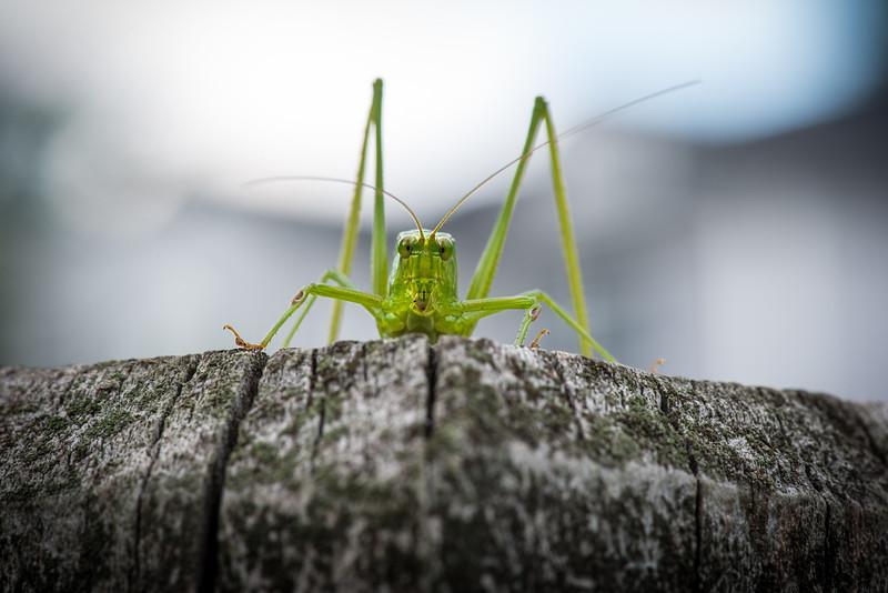 Grasshopper eyeballing me on back deck in Sellersville, PA, August 2014