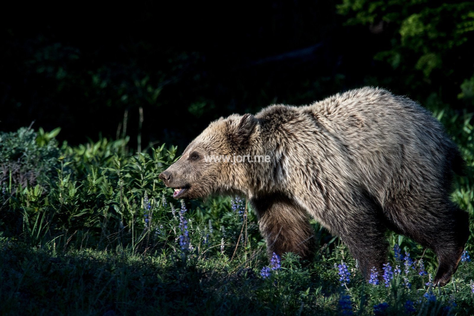 Sun rays on a running bear