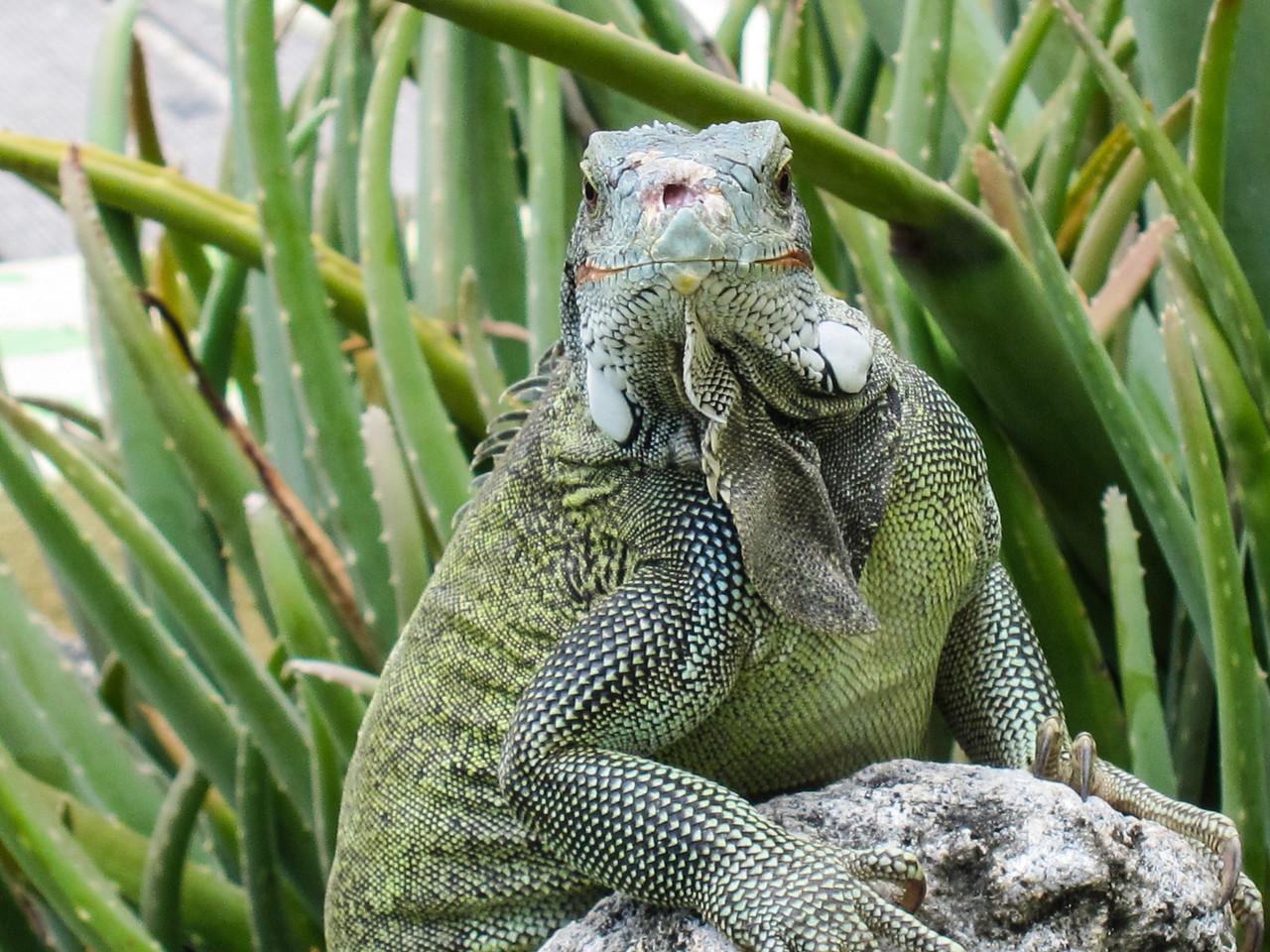 Large Iguana eyeballing me at Lions Dive Resort, Curaçao - February 2013