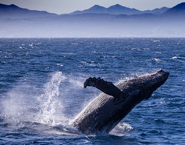 Breaching humpback whale - Sea of Cortez, Baja