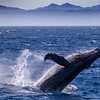 A breaching humpback whale (Megaptera novaeangliae) in the Sea of Cortez. Humpback whales have the largest flippers of all whale species - up to 1/3 body length.  Baja California Sur,  Mexico.