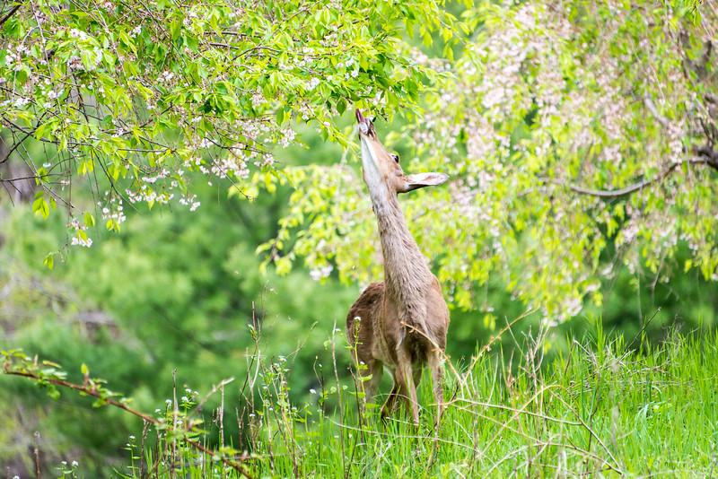 Whitetail feeding on tree in Wilson Farm Park, PA - April 2014