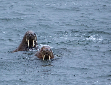 Atlantic Walruses.  Svalbard - Arctic Norway
