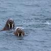 Atlantic Walruses.  Svalbard Archipelago. Arctic Norway.