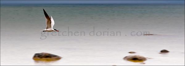 Caspian Tern | US 31S | Lake Michigan, Petoskey, MI