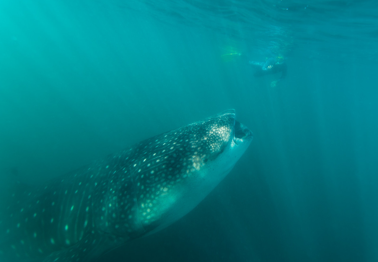 Whale Shark dwarfing a snorkler in La Paz, Mexico - January 2015