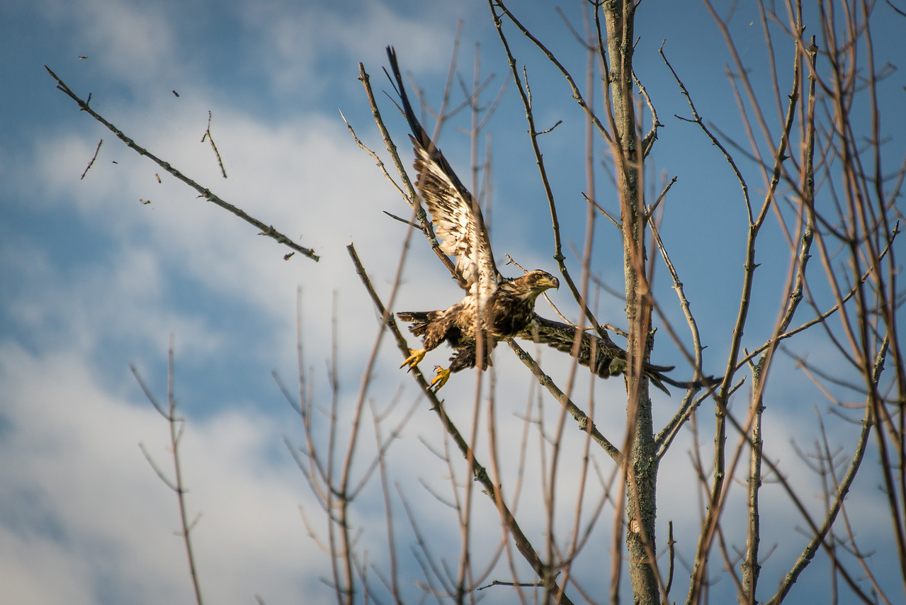 Golden Eagle breaking a branch as it launches itself from its perch next to my lot in Grindstone City, MI - June 2013