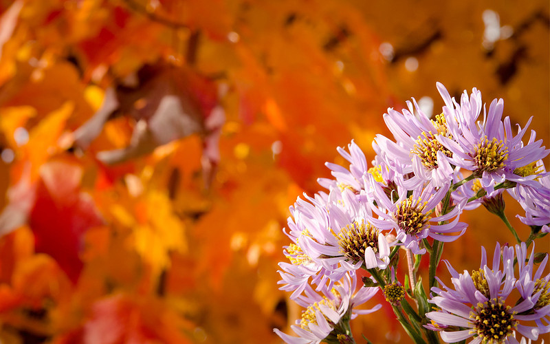 Autumn Asters