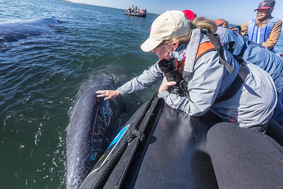 Diane Roberts petting a week-old California gray whale calf (Eschrichtius robustus) aboard a zodiac from the National Geographid Sea Bird.  The mother whale is nearby in upper left-hand corner.  Located in Los Titeres / Hull Canal, Bahía Magdalena,  Baja California Sur, Mexico.