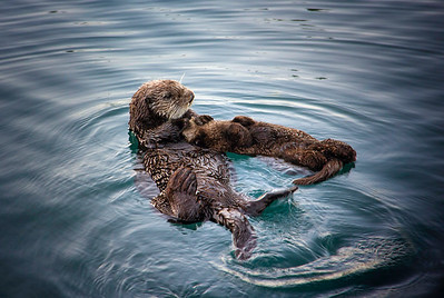 Sea Otters, moms and babies...