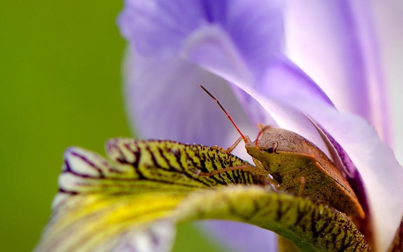 Wild Iris Guardian