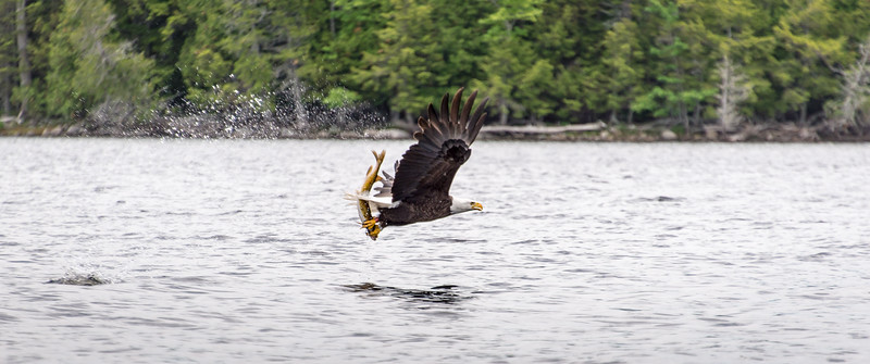 Bald Eagle with large Pickerel on Big Lake, Grand Lake Stream, Maine - June 2015