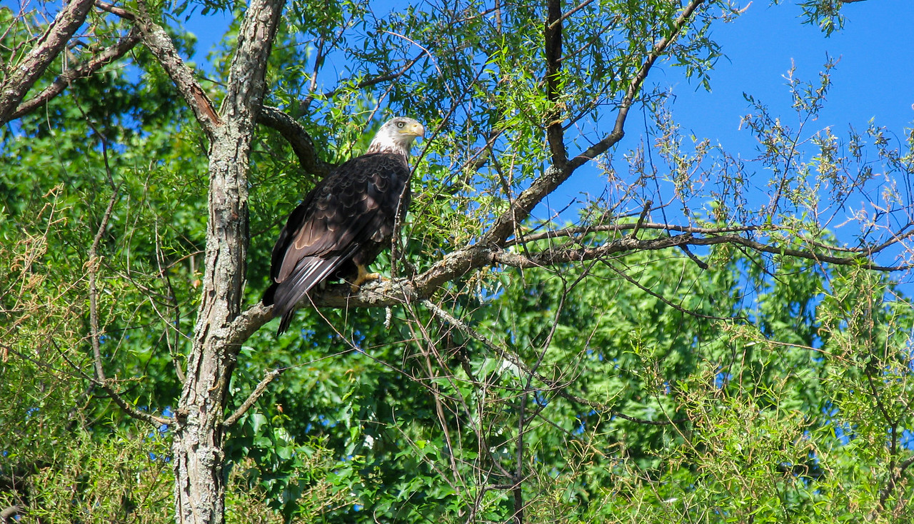 Bald Eagle at Lake Wallenpaupak, PA - May 2004
