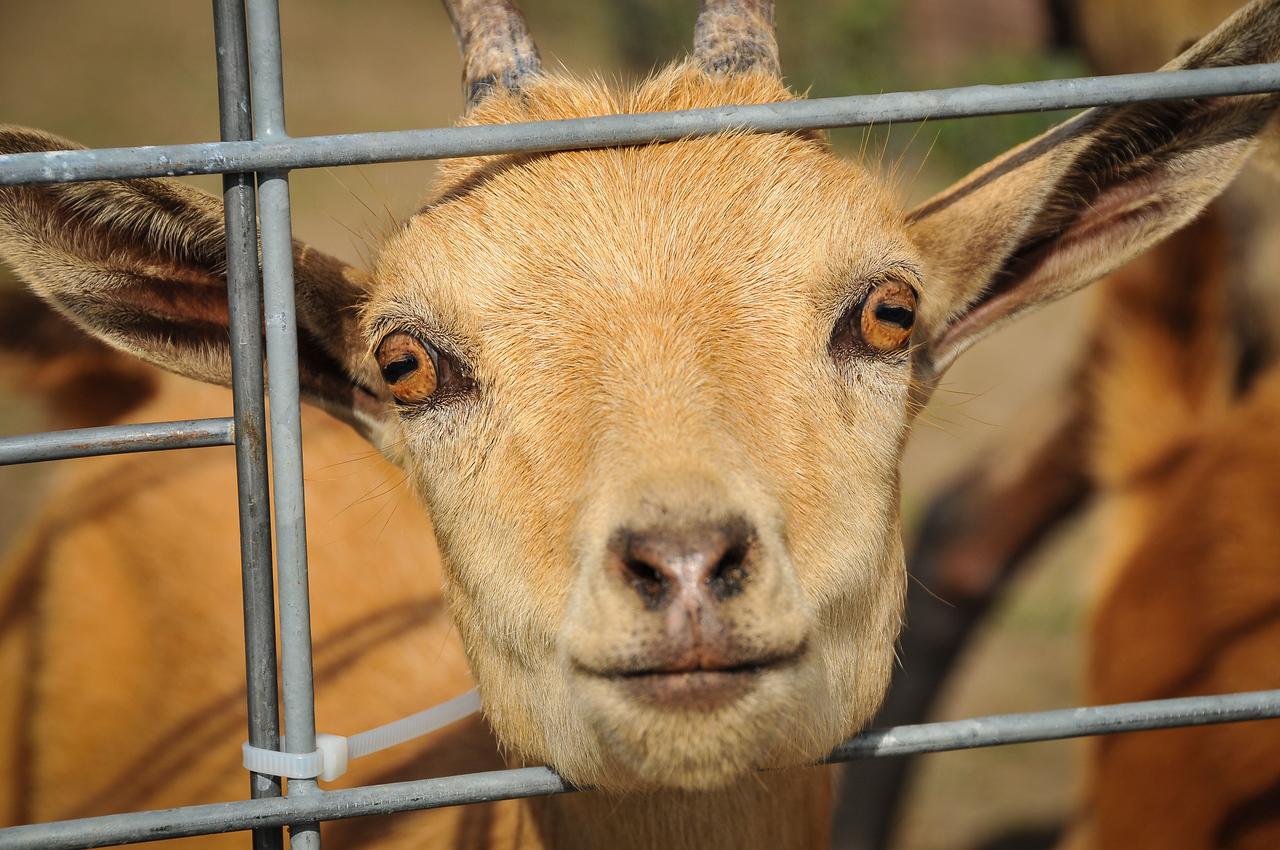 Goat at Port Austin's Farmer's Market, Port Austin, MI - October 2012