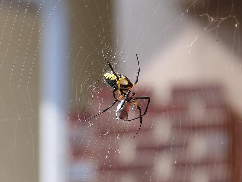 Banana Spider in Lambertville, NJ - August 2005