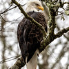 Northern Bald Eagle - Whatcom, WA