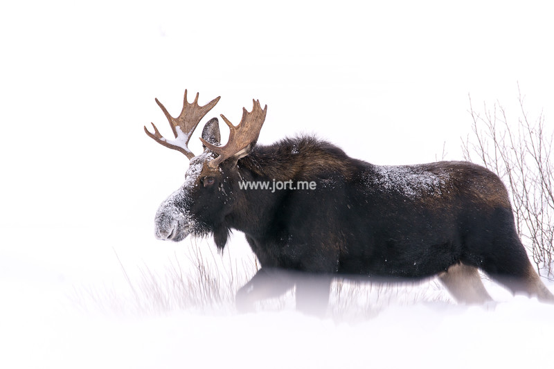 Moose trotting