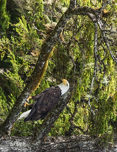 Bald Eagle - Chatham Strait, Alaska