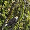 Bald Eagle - Chatham Strait, Alaska
