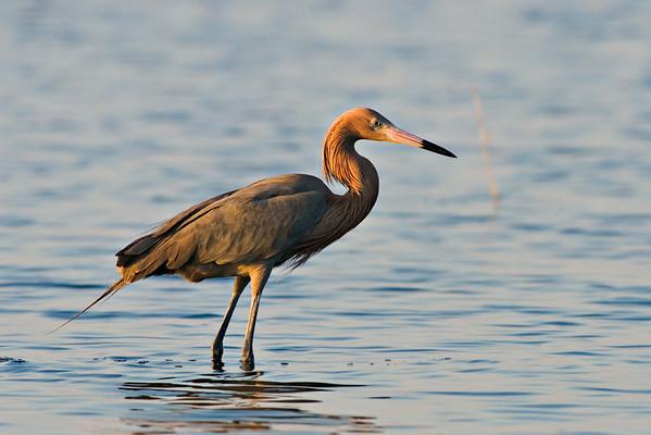 Reddish Egret, Merritt Island NWR, Florida.