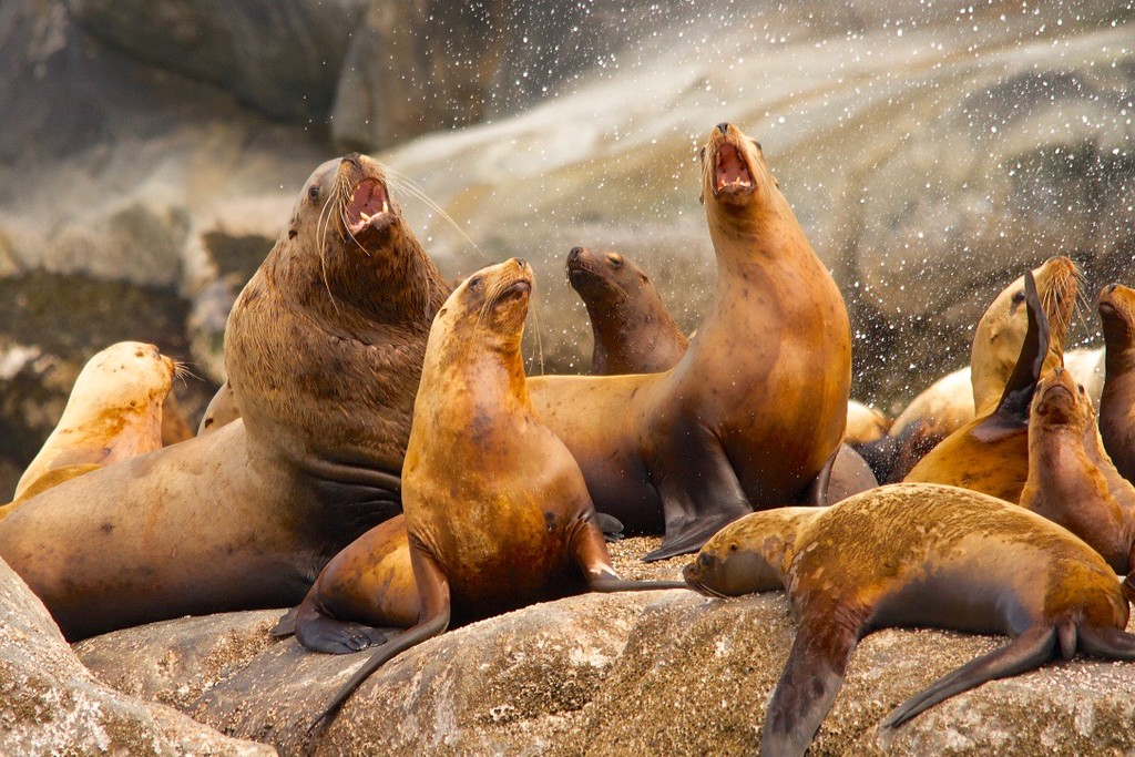 Steller Sea Lion Colony