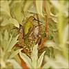 Costa's Hummingbird and babies