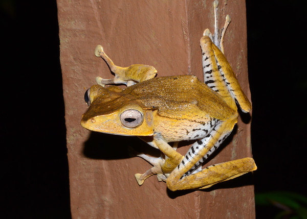 File Eared Frog