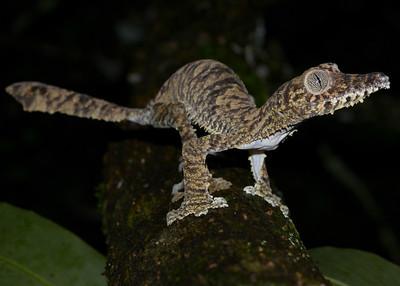 Uroplatus Fimbriatus (Leaf Tailed Gecko)