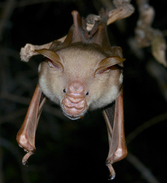 Commersons leaf-nosed Bat