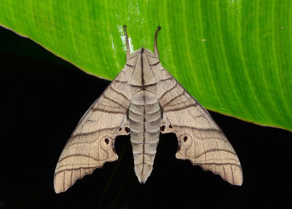 Hawk Moth (Marumba Juvencus)
