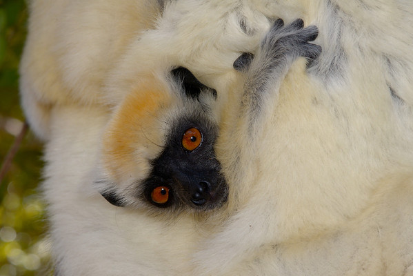 Golden Crowned Sifaka or Tattersall's Sifaka ( Propithecus tattersalli )