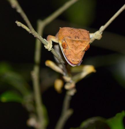 Uroplatus Finiavana (Leaf Tailed Gecko)
