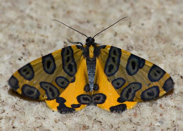 Leopard Moth ( Pantherodes Pardalaria )